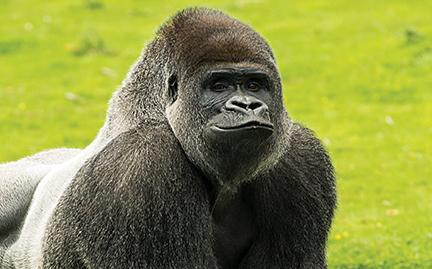 large-Gorilla-photo.jpg
