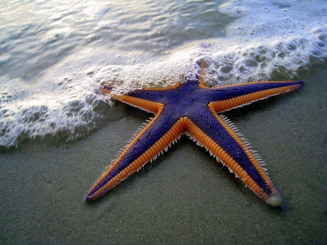 1200px-Purple_and_Orange_Starfish_on_the_Beach_(2884079538)