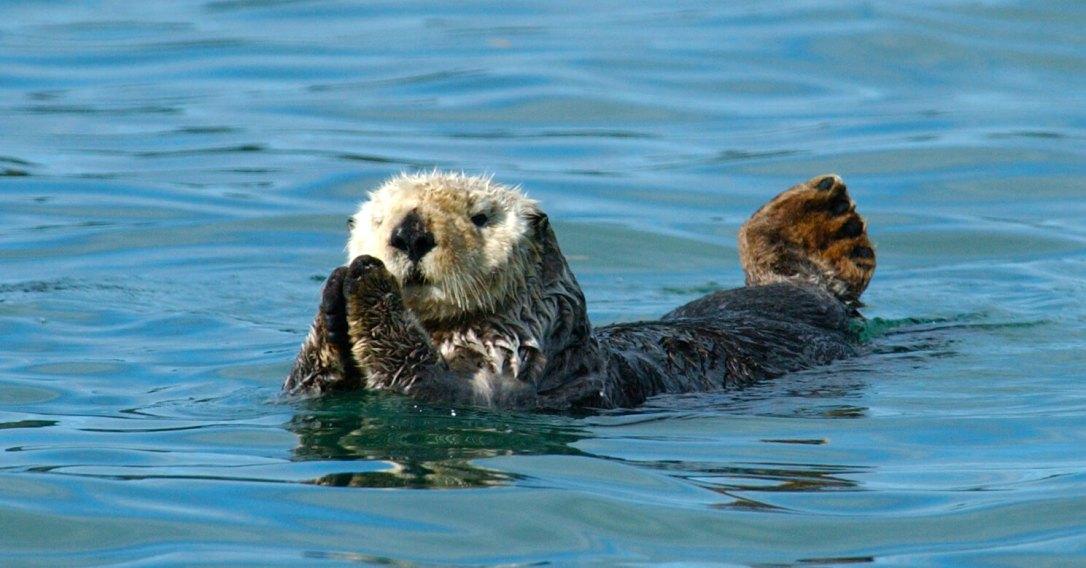 Sea-otter2004-by-Ryan-Wolt-MA-043219-3